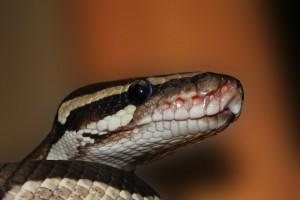 snake-ball-python-python-regius-beauty-39661-large